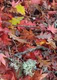 65 maple, oak, lichen, and a tiny mushroom