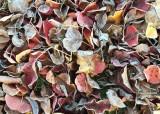 6 crispy frosty leaves