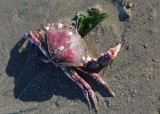 a very magenta crab shell