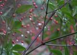stems, leaves, berries