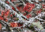 10 lichen and moss on witch hazel branches