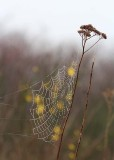 34 web by scotch broom