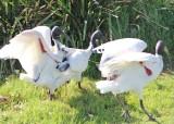2. ibises aflutter