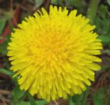 Dandelion  - Lawn  5-12-14.jpg