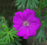 Wild Geranium - Garden 6-12-14.jpg