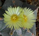 Astrophytum 6-15-14.jpg