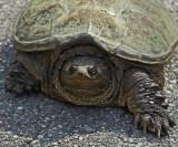 Turtle- Driveway 6-19-14.jpg