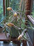 Selenicereus grandiflorus 6-29-14_6 pm.jpg
