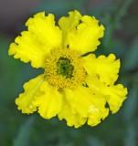 Marigold  - Garden 7-14-14.jpg