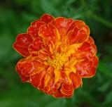 Marigold  - Garden 7-15-14.jpg