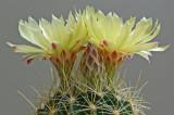 Cactus Flowers 7-24-14.jpg