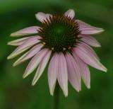 Echinacia  - Garden 7-24-14.jpg