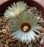 Astrophytum asterias  8-2-14.jpg