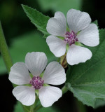 Marshmallow - Garden 8-11-14.jpg
