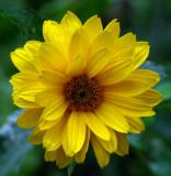 Mexican Sunflower - maybe  Garden 8-17-14.jpg