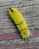 Caterpillar - Garden 9-16-14.jpg