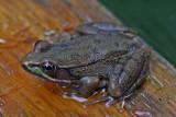 Frog - Garden 9-16-14.jpg