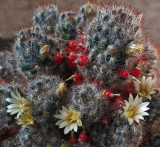 Cactus Flowers b 4-15.jpg