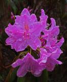 Rhododendron Garden 6-1-15.jpg