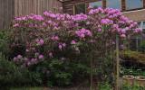 Rhododendron Garden 6-5-15.jpg