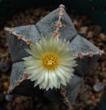 Astrophytum myriostigma 6-10-15.jpg