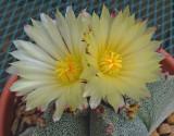 Astrophytum  6-10-15.jpg