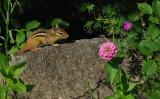 Chipmunk Garden 7-16-15.jpg