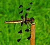 Dragonfly Garden 7-16-15.jpg