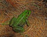 Frog in Yard  8-7-15.jpg