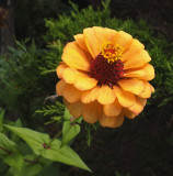 Zinnia  Garden b 9-28-15.jpg