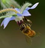 Bee on Borage - Garden 7-24-11-pf.jpg