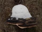 Fungus  Nothern Headwaters Trail 1-26-16-pfjjpg.jpg
