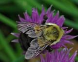 Bee - Garden 6-2-11-pf.jpg