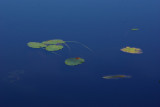 Lily Pads  - Canon Brook Trail 9-24-12-o.-pf.jpg