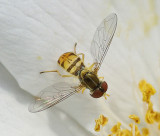 Hover Fly  - Ship Harbor to Wonderland Area 7-21-11-ed-pf.jpg
