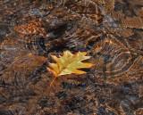 Leaf in Stream Breakneck Rd. 11-3-12-crop-pf .jpg