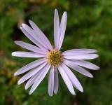 Wildflower - McCabe Mtn. Trail 9-26-13-pf.jpg