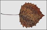 Leaf 11-25-11-ed-pf .jpg