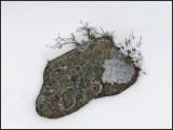 Lichen 12-25-09-ed-pf.jpg