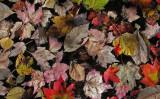 Leaves in Pond b 10-12-09-pf.jpg