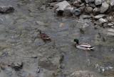 Mallards Kenduskeag Stream Trail 4-1-16-pf.jpg