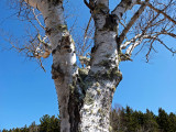 Tree  Little  Long Pond 4-14-16-pf.jpg