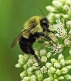 Bee - Walden 8-7-11=pf.jpg