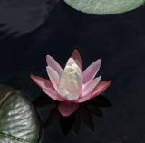 Waterlily - Fresh Pond 8-12-10-ed-pf.jpg