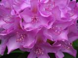 Rhododendron Garden 6-4-16.jpg