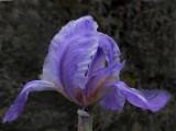 Iris Garden 6-9-16.jpg