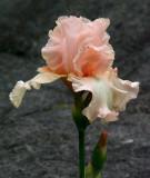 Iris Garden 6-12-16.jpg