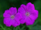 Wild Geranium Garden 7-1-16.jpg