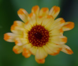 Calendula Garden 7-1-16 b .jpg