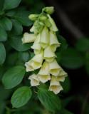 Foxglove Garden 7-2-16.jpg